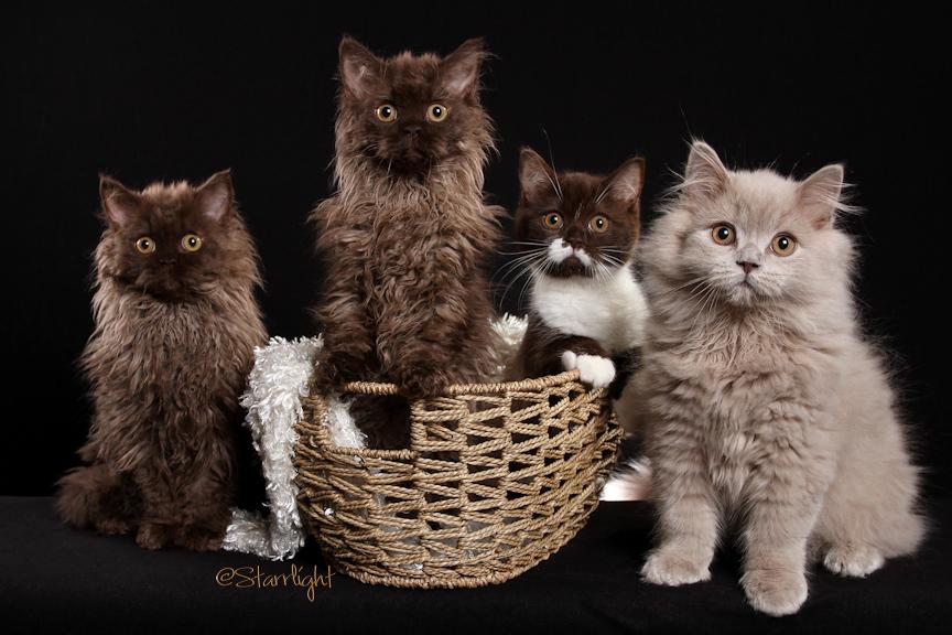 Beyonce x Momo kittens (breeder Susan Senser)
