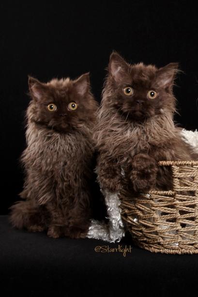 Beyonce & Kokomo kittens