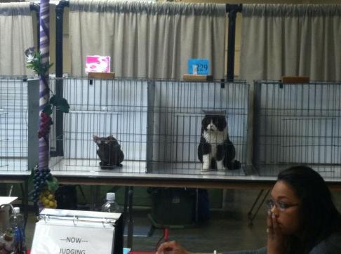 Momo at cat show