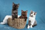 Mushu x Momo kittens (breeder Meagan Avantes)